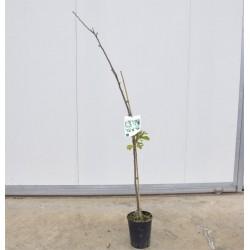 Azzeruolo Tree