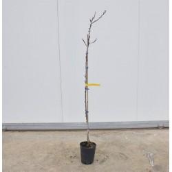 Bella di Imola Apricot tree