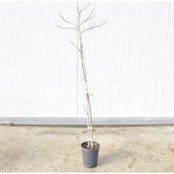 Vanilla persimmon tree