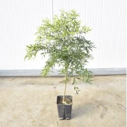 Microcitrus papuana tree