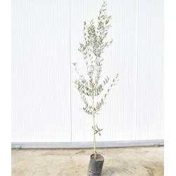 'Ogliarola Barese' olive tree
