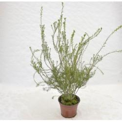 Coleonema Pulchrum Plant