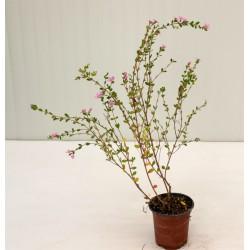 Pianta Boronia Heterophylla