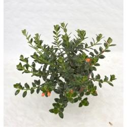 Nematanthus Hypocyrta Plant
