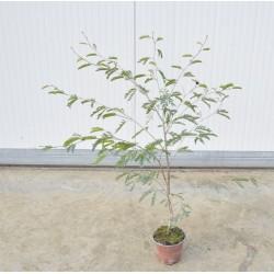 Calliandra Plant