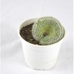 Opuntia Cylindrica Crestata...