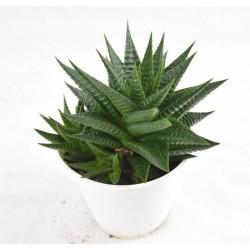 Pianta Grassa Aloe Aristata