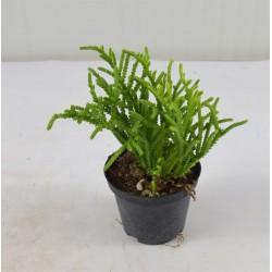 Hatiora Succulent Plant
