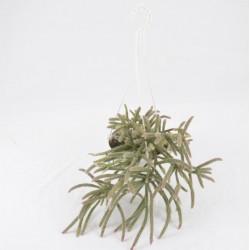 Echinopsis Chamaecereus...