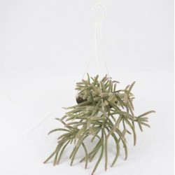 Pianta Grassa Echinopsis...