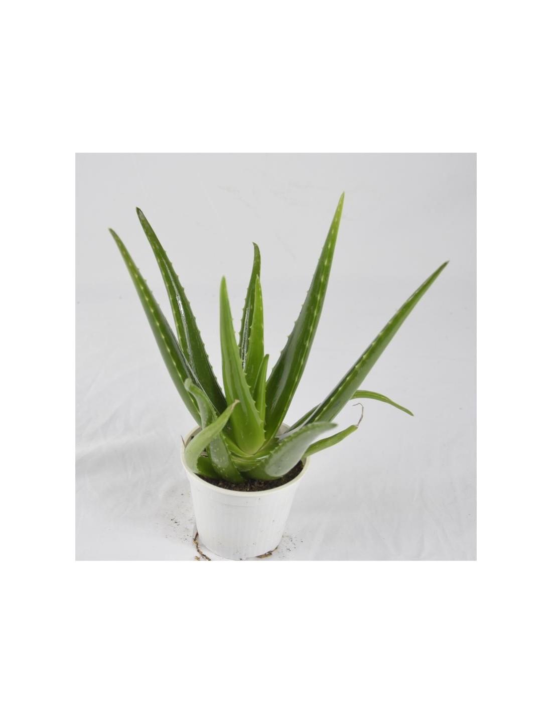 Piante Da Appartamento Aloe Vera.Aloe Vera Plant For Sale Succulent Plants Mondo Piante