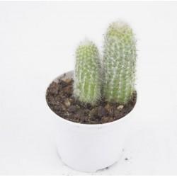 Espostoa Succulent Plant