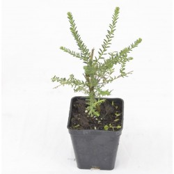 Ozothamnus Rosmarinifolia...