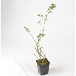 Leonotis Plant