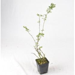 Pianta Leonotis Vaso 7cm