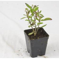 Galvezia Plant Vase 7cm