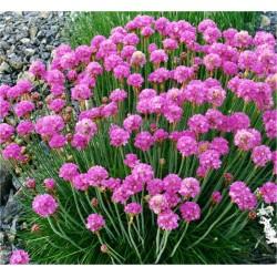 Armeria Plant
