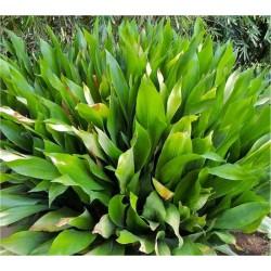 Aspidistra Elatior Plant