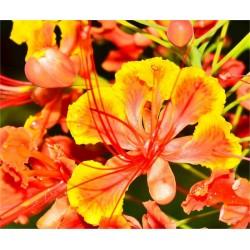 Poinciana Plant Vaso 7cm