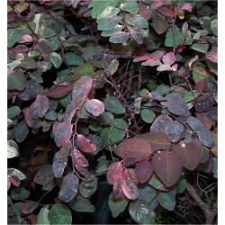 Breynia Roseo Picta Plant,...