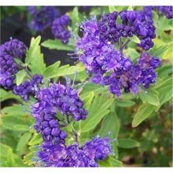 Caryopteris Bluè Plant Vaso...