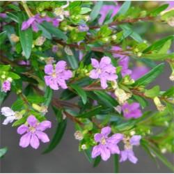 Cuphea Hyssopifolia Plant
