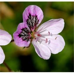 Erodium Plant Vase 7cm