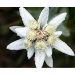 Edelweiss Seeds