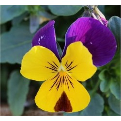 Viola Cornuta Seeds