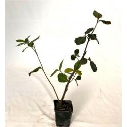 Albero di Quercus ilex
