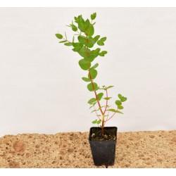 Pianta di Eucalyptus gunnii...