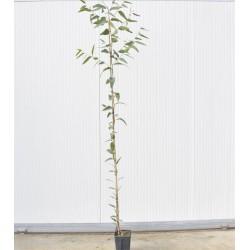 Eucalyptus Trabutii plant