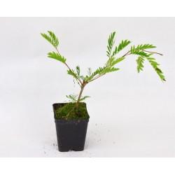 Plant of Albizia