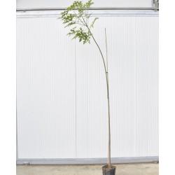 Brachychiton plant