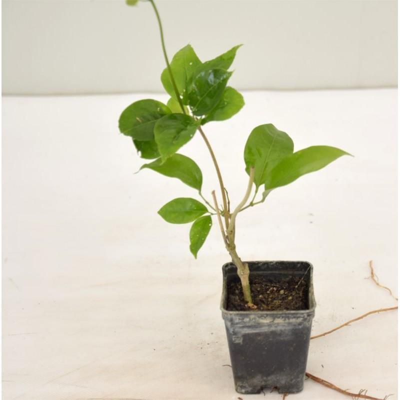 Vendita pianta di bauhinia alberi da giardino online for Alberi in vendita