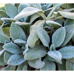 Stachys Plant