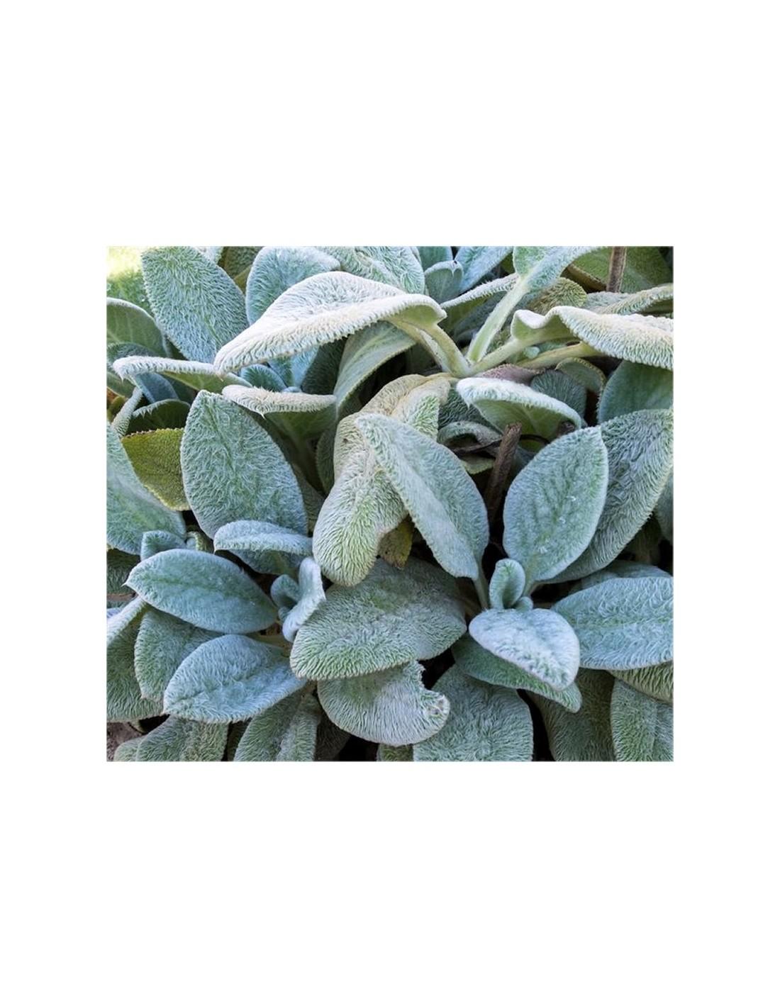 Pianta Orecchie Di Agnello stachys plant for sale - bush plants online | mondo piante