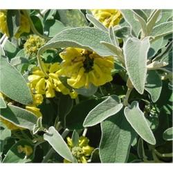Phlomis Plant