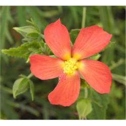 Pavonia Plant