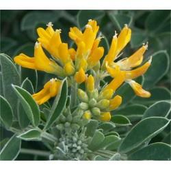 Medicago Arborea Plant