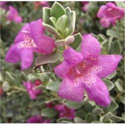 Leucophyllum Frutescens Plant