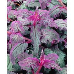 Gynura Plant
