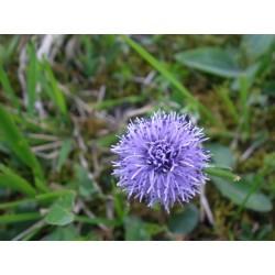 Globularia Plant