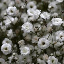 Gypsophila Plant
