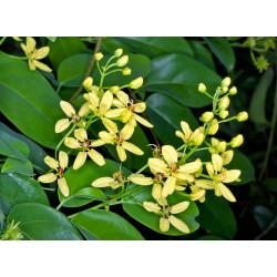 Galphima Glauca Plant Vaso 7cm