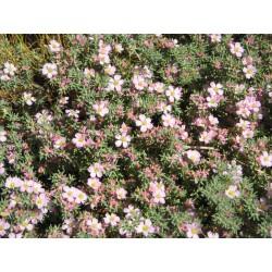 Frankenia Leavis Plant Vaso...