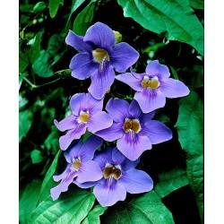Thunbergia Plant Vaso 7cm