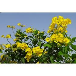 Tecoma Plant, Vase 7cm