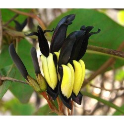 Kennedia Nigricans Plant...