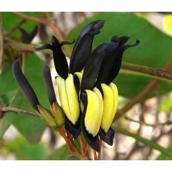 Pianta Kennedia Nigricans...